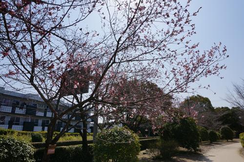 桜通りのさくらが咲き始め