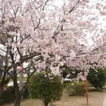 元茨木川緑地のコヒガン開花