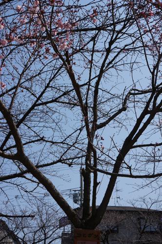 桜通りのコヒガン縦写真