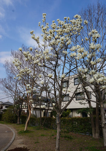茨木若園公園のモクレン