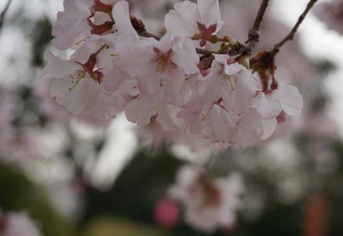 元茨木川緑地のコヒガン開花のアップ