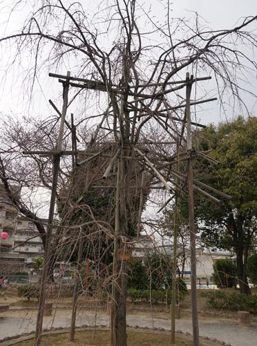 元茨木川緑地のしだれ桜は蕾