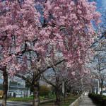 水尾公園のしだれ桜