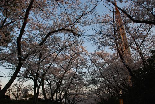 桜のトンネルを下から