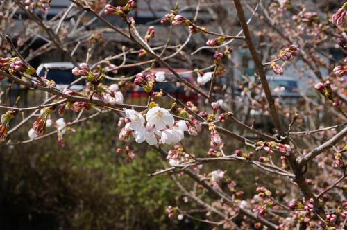 見山の桜のアップ
