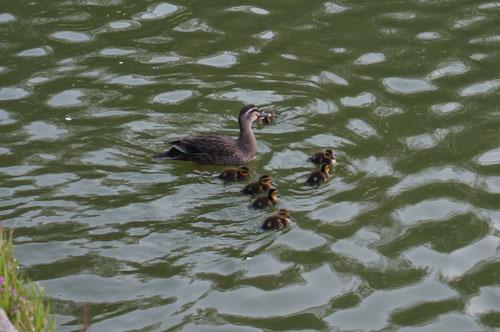 茨木耳原公園のカルガモ家族