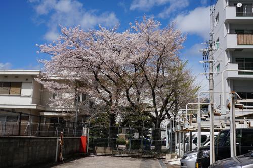 阪急そばの宅地の桜