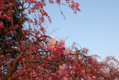 しだれ桜夕陽