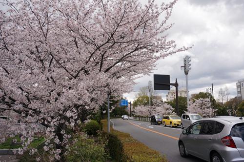 さくら通りの桜