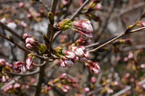 見山の桜のつぼみ