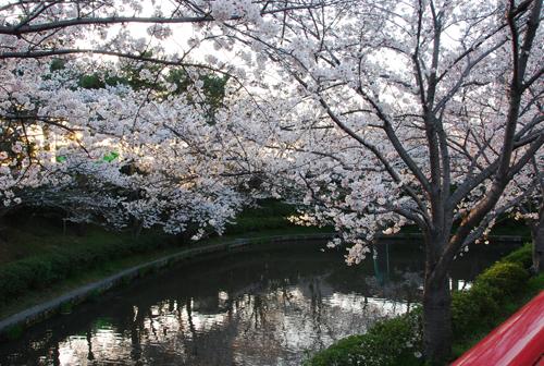 弁天の池にうつる桜