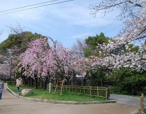 川端通りしだれ桜