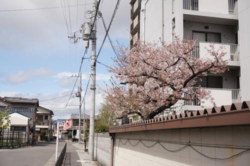 JRの宅地の桜