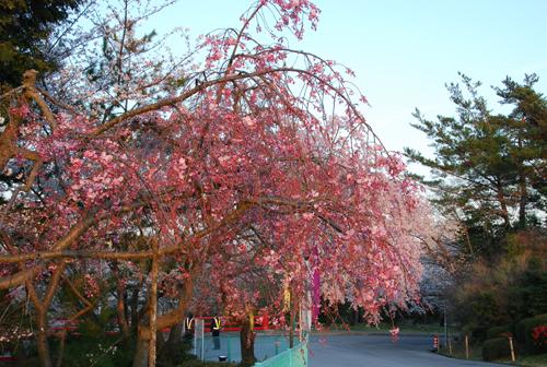 しだれ桜に夕陽