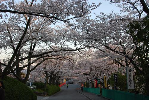 弁天桜のトンネル