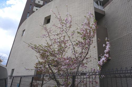 マンションの桜