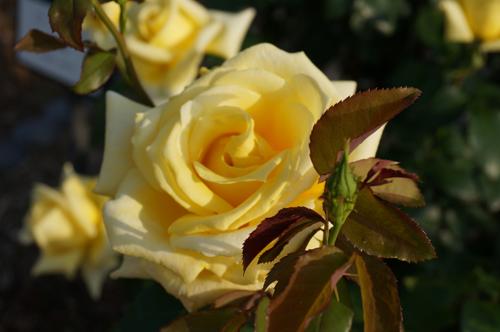 茨木のバラ・ランドラのアップ1