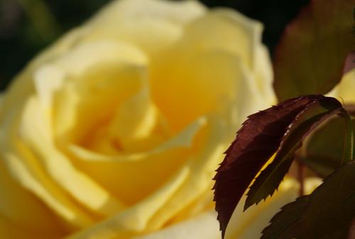 茨木のバラ・ランドラの葉っぱ