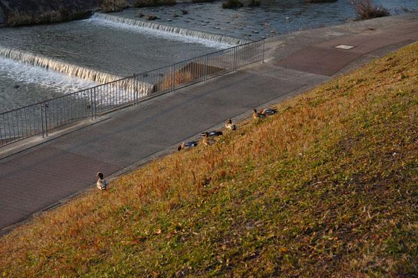 鴨のいる安威川の土手