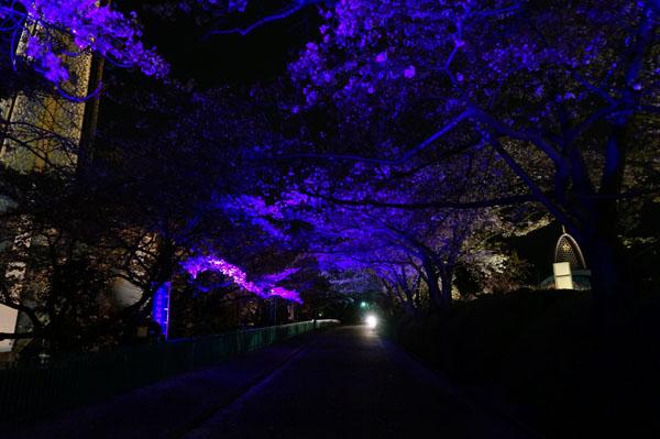 弁天桜のトンネルブルーDSC00393