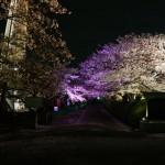 弁天桜のトンネルピンクDSC00380
