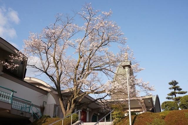辯天さん本堂そばの桜