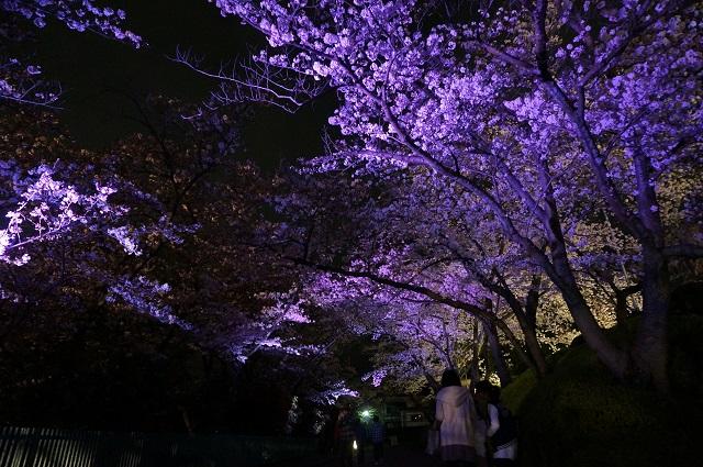 桜のトンネル紫