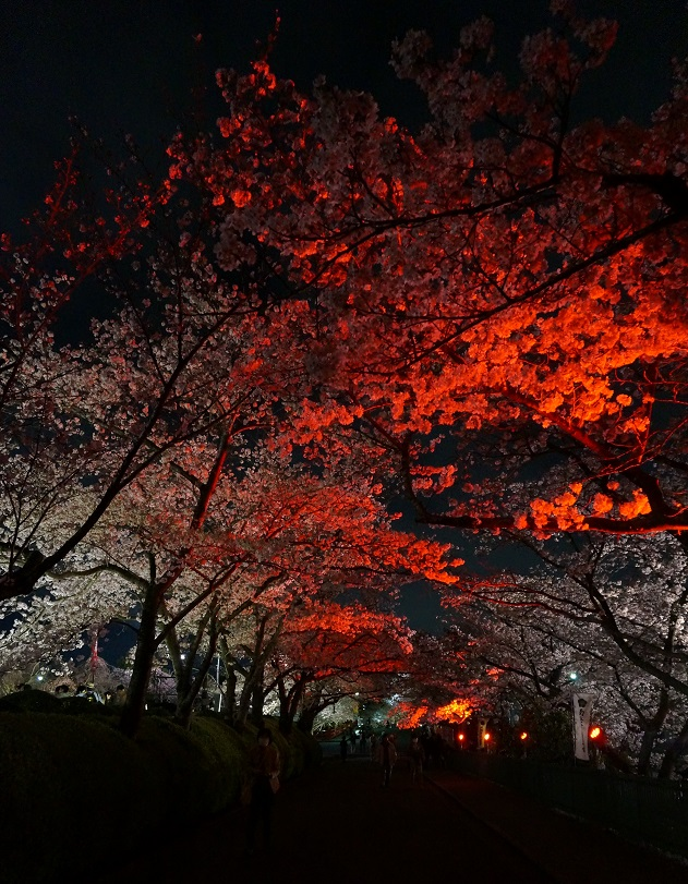 桜のトンネル縦赤
