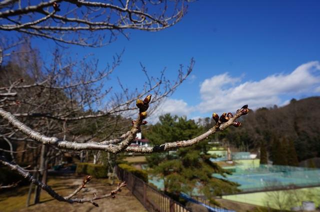 忍頂寺スポーツ公園桜のつぼみ