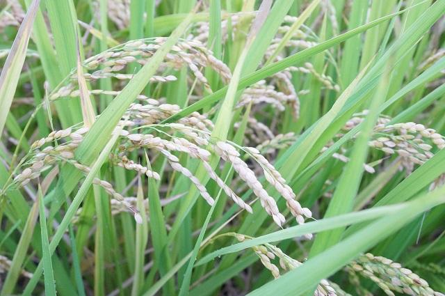 春日小そばの田の稲