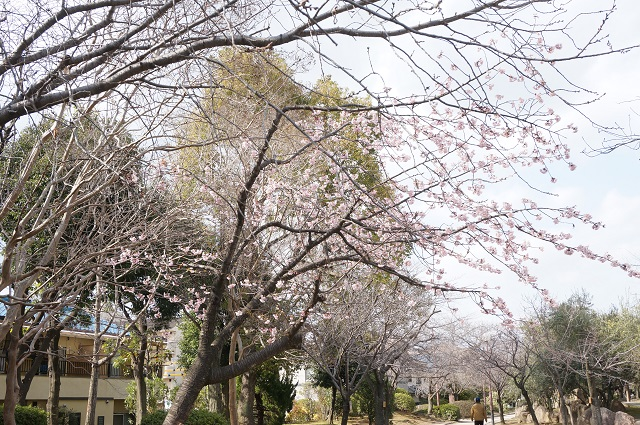 桜通りの桜咲き始めDSC04960