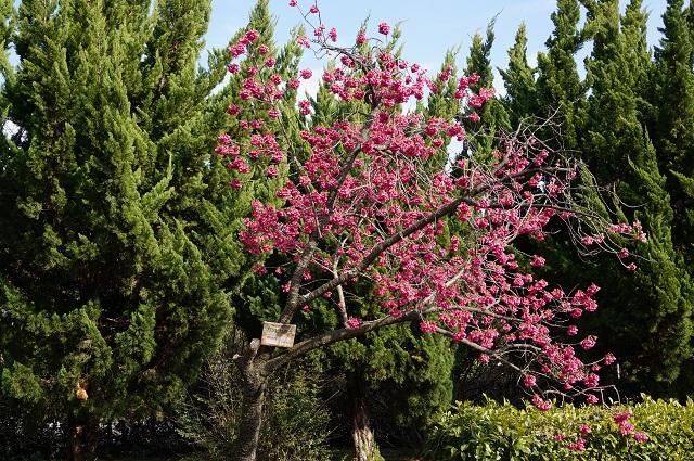 桜通りの寒緋桜咲いてるDSC04962
