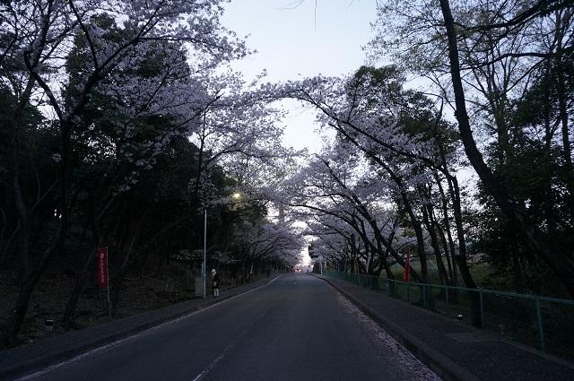 弁天2017桜のトンネルDSC05334