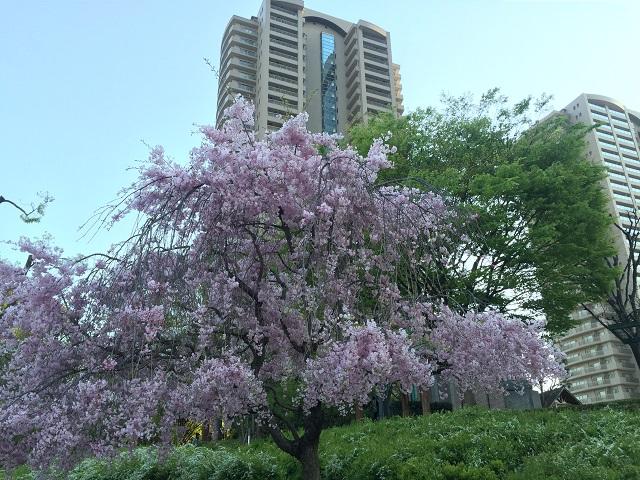 造幣局桜2IMG_6321