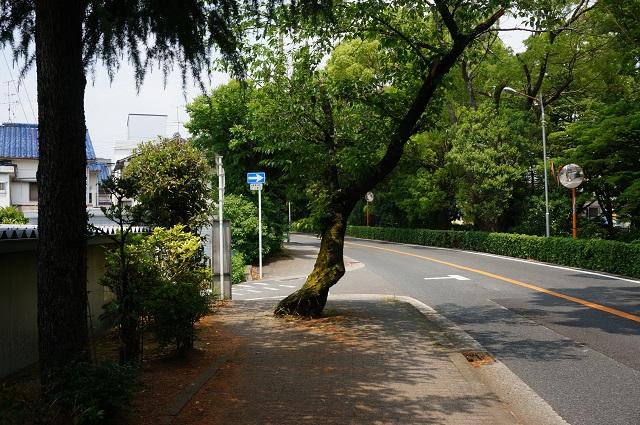 川端通りの木のどちらを通るかDSC06557
