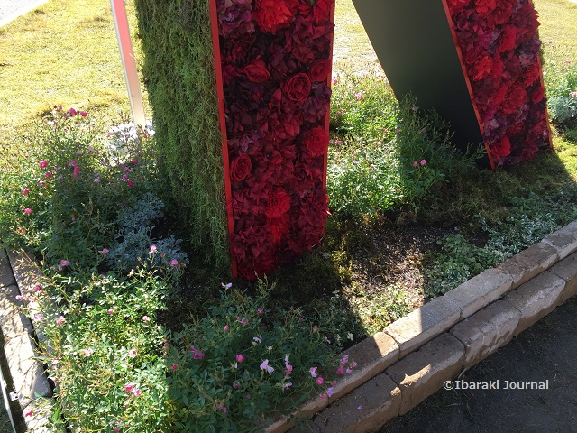 立命館大地面の花IMG_0026