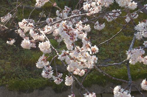 中穂積の桜のアップ