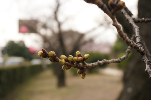 元茨木川緑地の桜のつぼみ