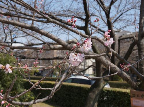 桜通りのコヒガンの花アップ