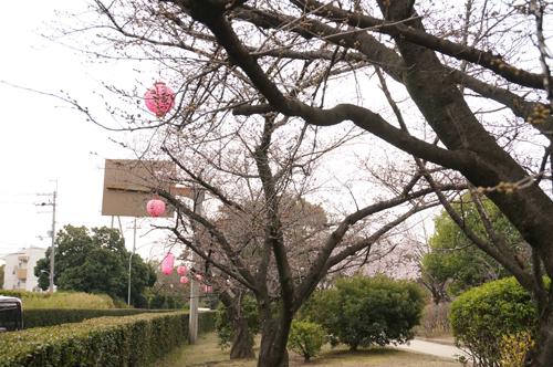 桜通り・元茨木川緑地でさくらま...