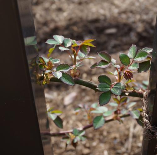 茨木バラ園のバラ葉っぱ