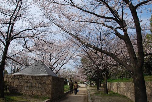 川端通りの桜