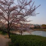耳原公園の桜