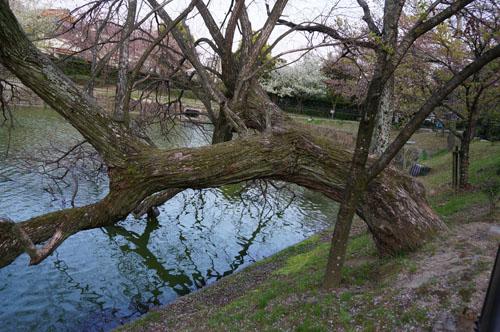耳原公園大木