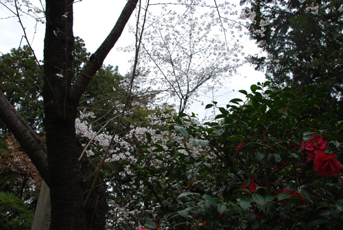 いぼ水神社の桜