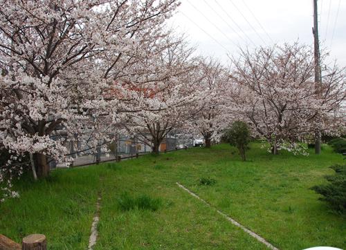 安威川横の桜