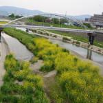 安威川の河川敷の菜の花