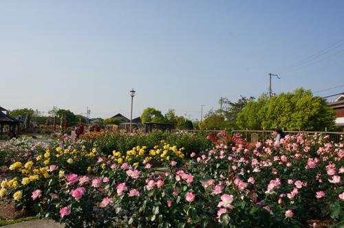 バラ園風景1