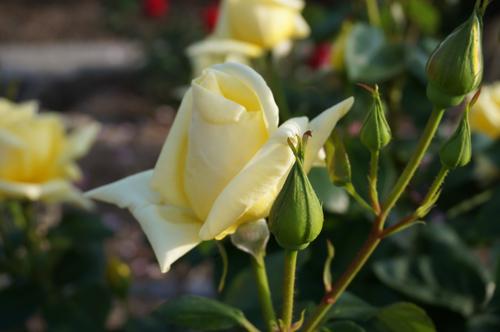 茨木のバラ・ランドラのつぼみ