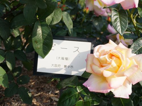 豊中のバラ・ピース
